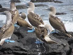 Galápagos - Isabela-118