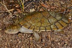 Saw-shelled turtle (Wollumbinia latisternum) (shaneblackfnq) Tags: mt turtle surprise shaneblack sawshelled wollumbinia latisternum