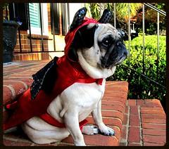 The Devil you say! (geraldbrazell) Tags: costume pug thedevil scaryfunny banditthepug halloweenpugdog