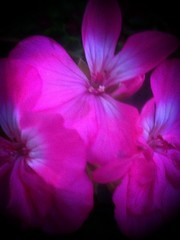 Floral Fantasy  (Series of edits focused on a single macro shot of a trio of pink flowers at BellinghamTownCommon) (Scorpiol13) Tags: camera pink flowers autumn macro nature garden landscape purple floralart iphoneography