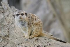 Meerkat. (LisaDiazPhotos) Tags: park nature zoo meerkat san wildlife conservation diego safari animalportrait lisadiazphotos sandiegozooglobal