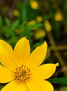 Yellow flower-bokeh-1