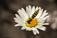 Weibliche Gemeine Stiftschwebfliege (Hoverfly, Sphaerophoria scripta) auf einem Gnseblmchen (AchimOWL) Tags: macro nature animals insect tiere natur makro insekt fliege schwebfliege gm1