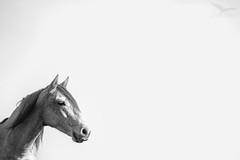 Caballo I (Botijo) Tags: naturaleza fauna caballo retrato composicion tecnica mamifero