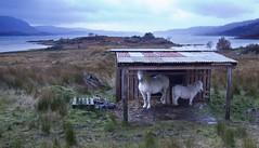Hurricane shelter (vathiman) Tags: horses scotland highlands wind hurricane croft loch shelter torridon