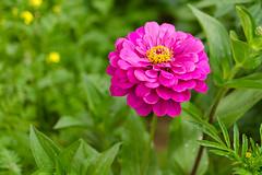 DSC_6890 (sir.yoga) Tags: flowers bratsk easternsiberia