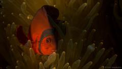 DSC05611.jpg (Vaajis) Tags: asia underwater diving malaysia borneo mabul seaanemone spinecheekanemonefish