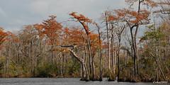 LANDSCAPE (t.rex7000) Tags: autumn fall landscape alabama bayou swamp spanishmoss cypresstrees trex7000