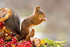 red stand (Geert Weggen. It is not a farwell, but a let go) Tags: autumn red food fern green fall nature look animal yellow mammal rodent leaf moss squirrel branch berries view top ground rowan geert weggen ilobsterit hardeko