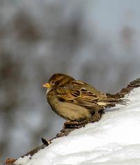 It's Cold Here (mahar15) Tags: november winter snow bird nature minnesota midwest wildlife sparrow snowcovered backyardbirds