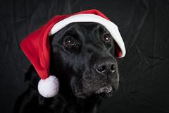 """""""Bruar"""" (Davie Dunn) Tags: dog pet lab labrador labradorretriever nikkor petportrait blacklabrador 2470 bruar d3s"""