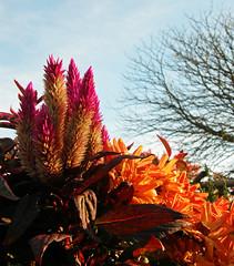 140554 Herbstblumen im Sonnenlicht. Autumn flowers in the sunlight. (Fotomouse) Tags: flowers autumn light orange licht flickr herbst blossoms blumen lila lilac blten fotomouse