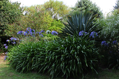 Agapanthus, Carreg Dhu Gardens, St Mary's (Scilly Isle) Tags: pink blue sea white tree green chicken beach windmill robin grass shop landscape sussex boat purple dove starling bamboo bee lilac sparrow buff shrub agapanthus geranium blackbird wetsuit duckpond narcissus isle