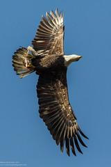 look out below (brichardson687) Tags: fish canon fishing eagle wildlife baldeagle maryland raptor canoneos bif americanbaldeagle birdinflight canon1dmarkiv