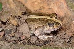 Ornate burrowing frog (Platyplectrum ornatum) (shaneblackfnq) Tags: beach ornate burrowing ornatum cooya shaneblack platyplectrum