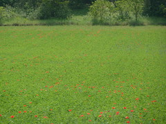 summertime (Poutik) Tags: trees green field meadow poppies redflowers coquelicots