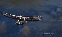 Un autre aigle  l'envol (gil streichert) Tags: real golden nikon eagle royal reale ubaye mercantour aguila aquila aigle rapace 300mmf4