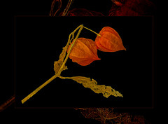 "once again "" ScannerART""  with Physialis (scorpion (13)) Tags: autumn flower colour fruits work with blossom scanner frame dried photoart physalis creativ lampionblumen"