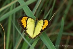Yellow Orange Tip (azarudeen.anifa) Tags: orange yellow butterfly tip pyrene thrumylens ixias azarudeen azarudeenphotography