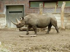 Diceros bicornis michaeli (Merintia) Tags: europa2016 zooberlin berlinzoologischergarten cautividad captivity captive dicerosbicornismichaeli easternblackrhinoceros rinocerontenegro