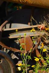 Arado (Checker Morgendorffer) Tags: chihuahua mexico desert wild menonitas amish cuauhtemoc manzanas carretera crossroads flowers flores invierno winter north photography class