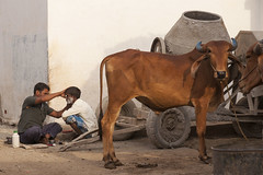 Barber at work (wietsej) Tags: barber work gond village kaawardha chhattisgarh india cow tribal rural sonyalphadslra900 sonysal70200g