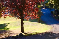 Fall Light (opal c) Tags: tree japanesemaple sunlight bright fall afternoon walk
