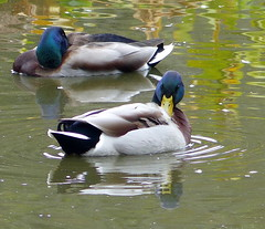 Yin Yang - EXPLORE (Kazooze) Tags: ducks maleducks yinyang pond nature reflections duncansmills outdoor explore