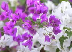 Daydream (St./L) Tags: nikon nature flower naturmort violet white green imaginative creative artistic harmony