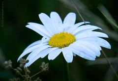 What we take for granted we lose (phosgrapheuk) Tags: daisy wilddaisy flower springtimeflowers whiteflower derbyshireflora derbyshire rain raindrops flore flora petals