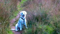Charlie 22 weeks old (Mark Rainbird) Tags: canon charlie dog powershots100 puppy retriever uk ufton england unitedkingdom