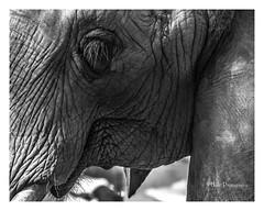 Elephant (Henri Photography) Tags: animals zoo atlantazoo henriphotography animal elephant closeup dsc01865wm texture