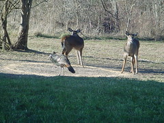 Wild Turkey and Deer (BirdWatcher6723) Tags: 2004 birds deer mammals nature turkeys unitedstates missouri buffalo wildturkeys wildlife