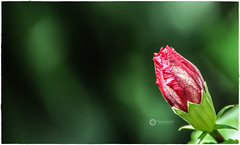 New Beginning (Ramalakshmi Rajan) Tags: nikkor70300mmf4556gafsvrifed nikkor70300mm nikon nikond5000 flowers flower bud buds red inmygarden