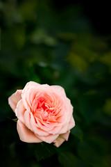 Improbable yet generally predictable (hjl) Tags: rose samyang summer stilllife samyang85mmf14 flower petals pink