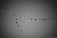 autumn formation (jrockar) Tags: goose geese gooses bird v formation flight nature witney oxfordshire uk england canon 5d mk mark iii 3 40mm stm stm40 prime lens standard bw mono blackandwhite jrockar idiot janrockar ordinarymadness