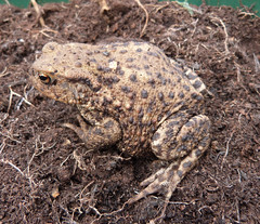 Common Toad (Bufo bufo), Ashton Keynes, Wiltshire, 19th October 2016. Found in an opened bag of garden compost (john.grearson) Tags: toad amphibians taxonomy:binomial=bufobufo