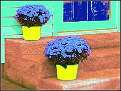 The Blue Flowers In Yellow Pots On Red Cement Doorsteps At Mint Green House - Edited Photo Created by STEVEN CHATEAUNEUF On October 23, 2016 (snc145) Tags: editedphoto green blue yellow red flowers pots cement doorsteps house photo colors colorful pretty outdoor bright bold vivid autumn fall seasons october32016 october232016 stevenchateauneuf paintshoppro6 picasa3editing