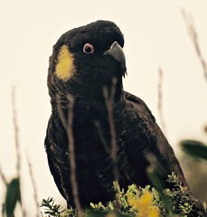 Yellow tailed black cockatoo (di on the wallaby) Tags: bird yellowtailedblackcockatoo calyptorhynchusfunereus sthelens tasmania australia
