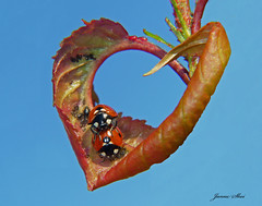 A heart full of love (janne.skei) Tags: heart ladybird nature insect love macro closeup blue red sky garden lumixfz200