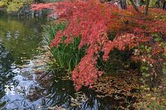 DSC_6646 (Timmy Tsai) Tags: japan nagano princeshoppingplazaoutlet autumn fall karuizawa maple                 kitasakugun naganoken jp