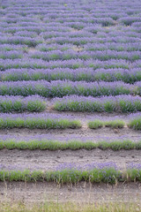 Lines of Lavender (Piyush Bedi) Tags: lavender france gordes europe flowers farming garden monastery senanque provence church southoffrance fuji fujifilm xt1 outdoor nature