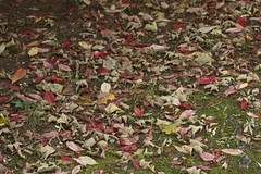 Le feuilles mortes (Cozla) Tags: leaves autumn herbst fall nature feuilles rouge red colors decadence minimal