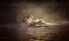 Pelican lake :) (Pics4life.nl) Tags: pelicaan pelican waterdrops bird zoo light water nature natuur