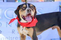 dudleywalker-6063 (angelsrescue) Tags: aau pets angels among us pet rescue alpharetta ga dog love
