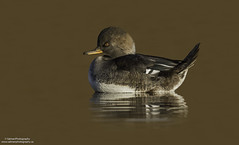 Hooded Merganser female (salmoteb@rogers.com) Tags: bird duck wild animal nature outdoor
