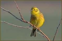 Yellowhammer (image 2 of 2) (Full Moon Images) Tags: rspb fen drayton lakes wildlife nature reserve cambridgeshire bird yellowhammer