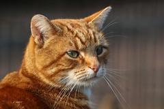 Cat BEERTJE (K.Verhulst) Tags: cats cat poes kat ouwehandsdierenpark ouwehands rhenen pet huisdier pets beertje