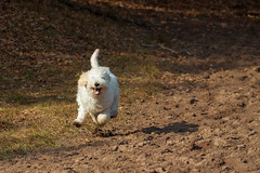 Run for it...... (80D-Ray) Tags: labradoodle dog bibi sand running animal