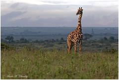 Giant in the City! (MAC's Wild Pixels) Tags: giantinthecity tallgiant giraffe city urban outdoors wildafrica wildanimal wildlife africanwildlife maasaigiraffe nairobinationalpark nairobi kenya macswildpixels ngc coth5 npc